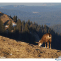 chamois broute2