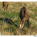 chamois-broute