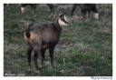 chamois-ombre