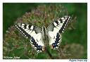 Machaon2