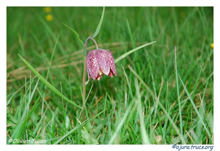 Deux fleurs rares dans le Jura 20120504200033-285a4bbf